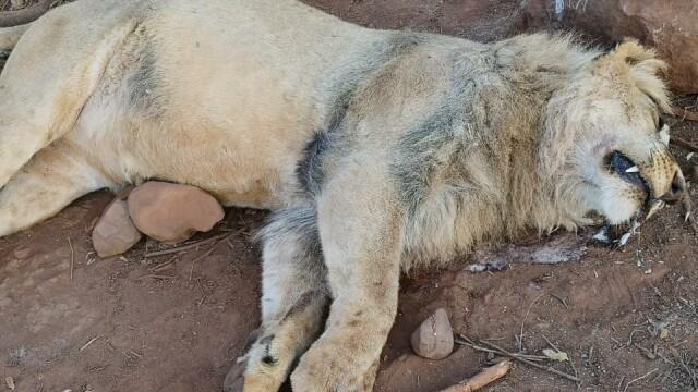Un leu otrăvit de braconieri a murit în braţele administratorului rezervaţiei