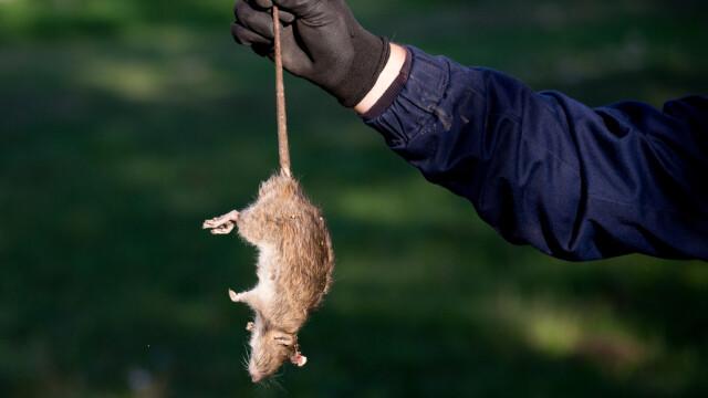 """Orașul din România invadat de șobolani: """"Sunt ca la nuntă, alai. Dansează, fac ce vor ei"""""""