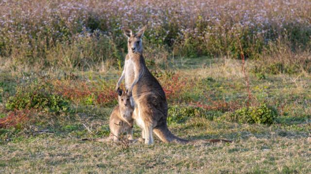 Cangurii vor fi împuşcaţi în Australia pentru a fi dați drept hrană animalelor de companie
