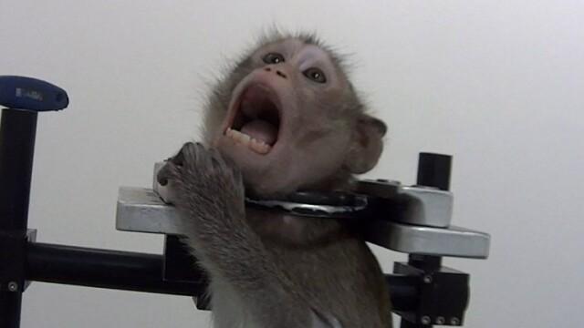 Imagini șocante într-un laborator din Germania. Maimuțe torturate în experimente - Imaginea 4