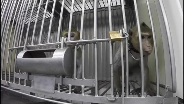 Imagini șocante într-un laborator din Germania. Maimuțe torturate în experimente - Imaginea 3