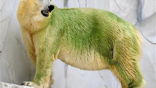 "Trei ursi polari s-au ""inverzit"""
