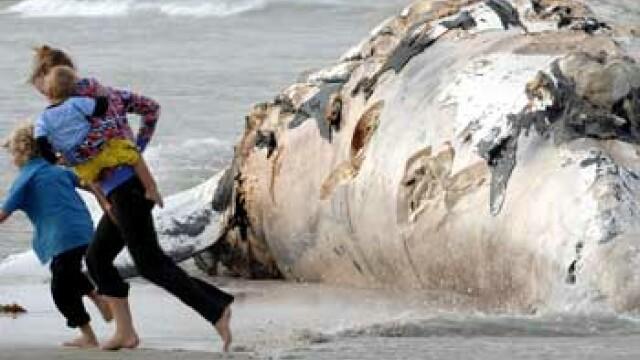 O balena uriasa a esuat la New York