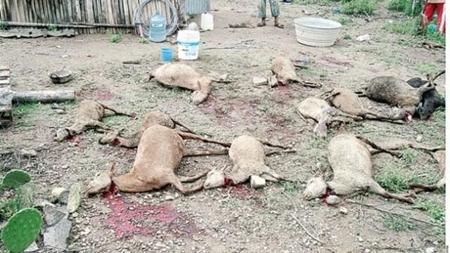 Chupacabra ucide din nou! Fermierii mexicani sunt disperati