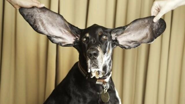 FOTO. Cainele cu urechi de elefant - au peste 30 de centimetri lungime