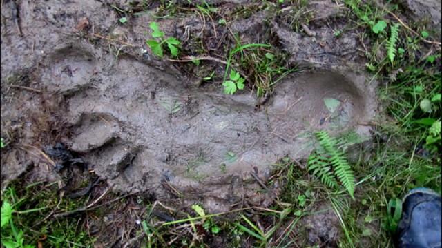 Urma uriasa de picior descoperita intr-o padure din Siberia.