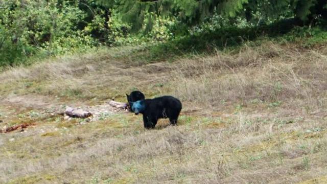 Urs cu capul albastru fotografiat in Canada. Cum explica specialistii \