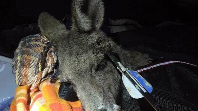 Cruzime extrema intr-un oras australian. Un cangur care a trait timp de 9 zile cu o sageata in cap a murit din cauza ranilor - Imaginea 2