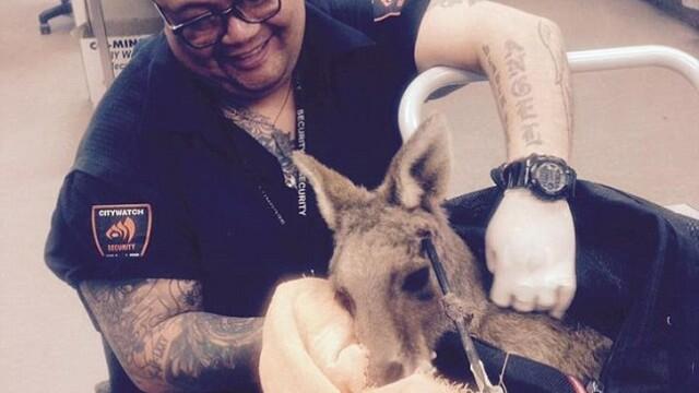 Cruzime extrema intr-un oras australian. Un cangur care a trait timp de 9 zile cu o sageata in cap a murit din cauza ranilor - Imaginea 4