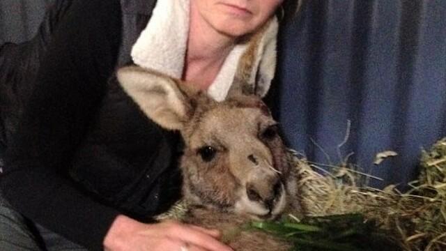 Cruzime extrema intr-un oras australian. Un cangur care a trait timp de 9 zile cu o sageata in cap a murit din cauza ranilor - Imaginea 5