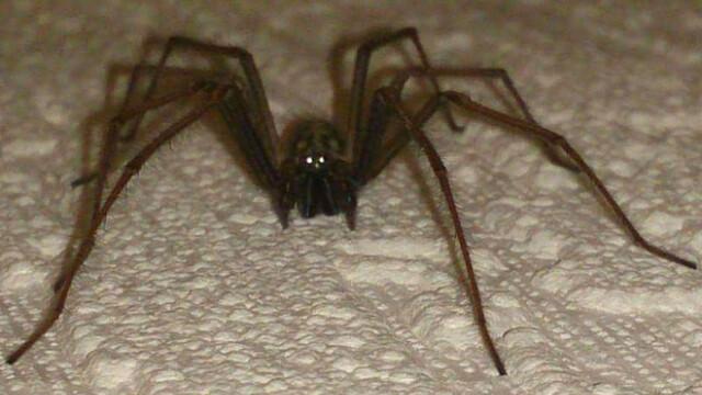 Invazie de paianjeni in Marea Britanie. Oamenii se trezesc cu specii uriase pe pereti si sub paturi