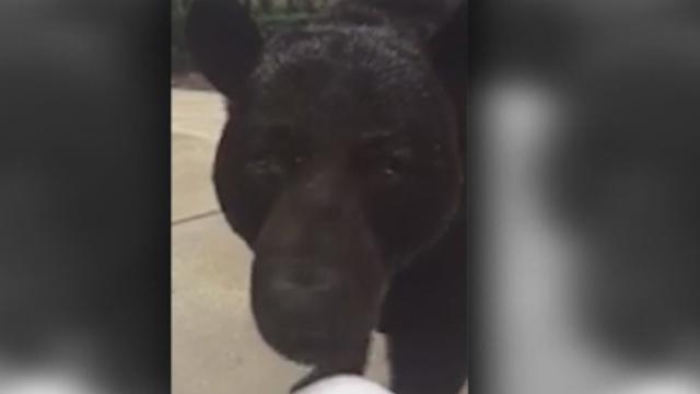 Intalnirea infricosatoare a unei femei cu un urs urias. Ce a facut cand animalul s-a apropiat de ea. VIDEO