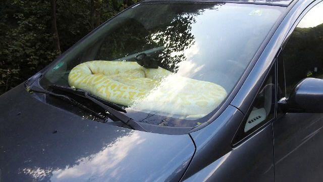 Reacția unui șofer după ce s-a trezit cu un piton de 20 de kilograme pe bordul mașinii