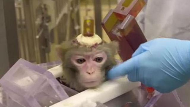 Electrozi implantați în creier și tije de ciment atașate de cap. Chinurile la care sunt supuse maimuțele pentru experimente