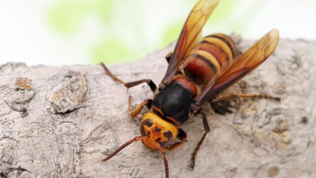viespea asiatica uriasa