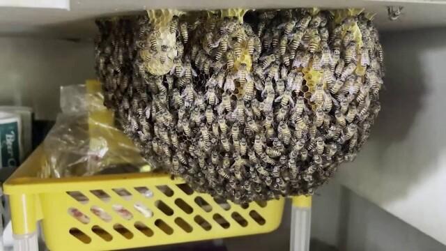 Stup de albine uriaș, descoperit în bucătăria unui restaurant. Motivul pentru care nu vor fi înlăturate. GALERIE FOTO - Imaginea 3