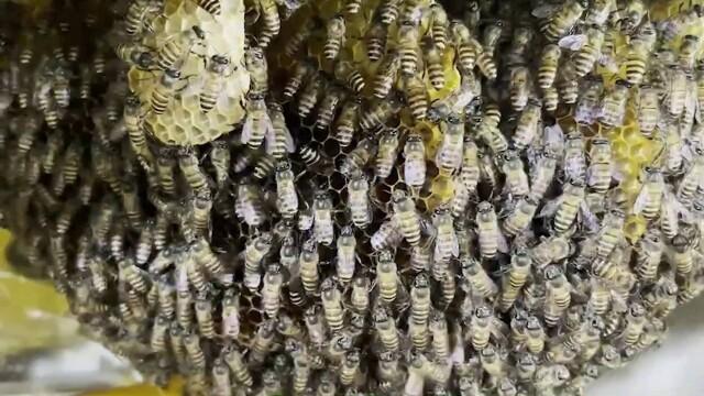 Stup de albine uriaș, descoperit în bucătăria unui restaurant. Motivul pentru care nu vor fi înlăturate. GALERIE FOTO - Imaginea 1