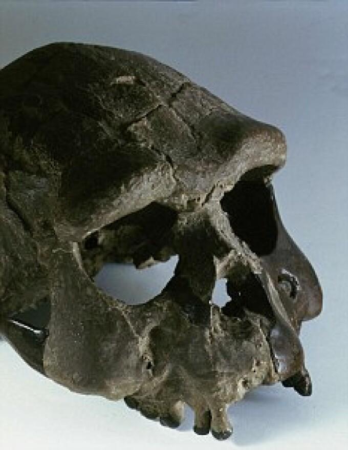 craniu Homos Erectus