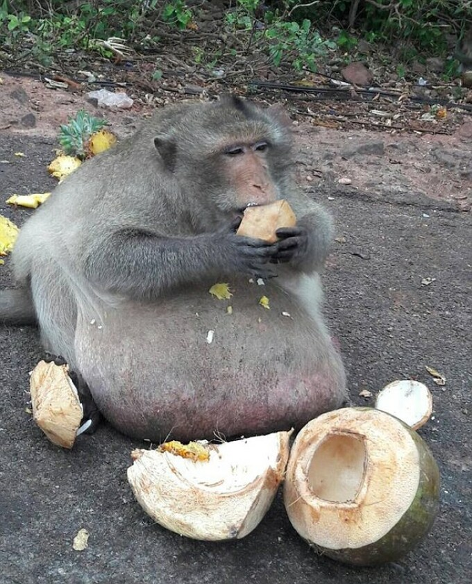 maimuță de slăbit)