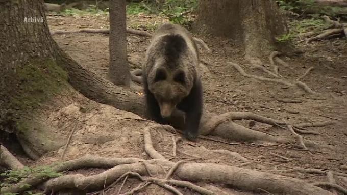 Un urs de 500 kg va fi împușcat de autorități.