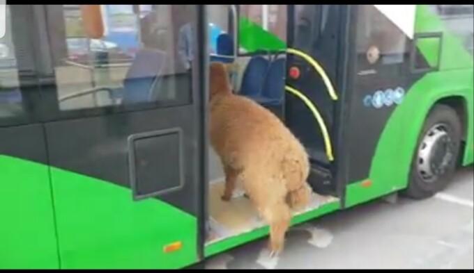 alpaca pablo
