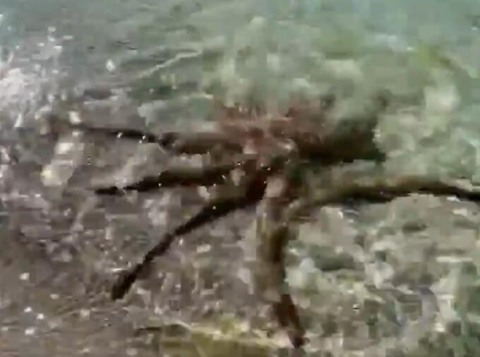 VIDEO. Un bărbat din Australia a fost atacat de o caracatiță.