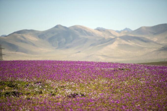 desertul Atacama inflorit