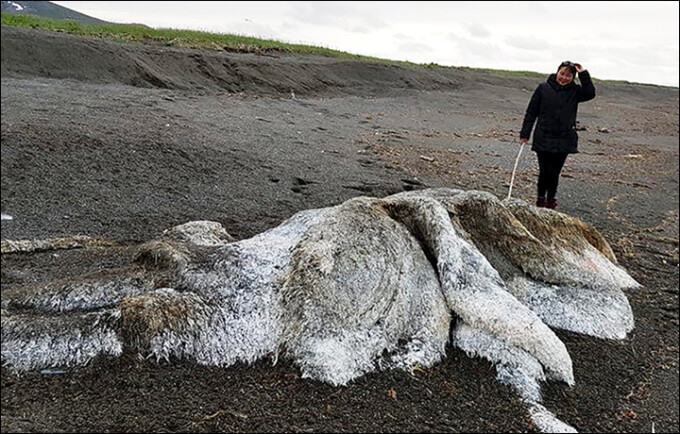 Resturile unei uriaşe creaturi marine, găsite pe o plajă din Rusia