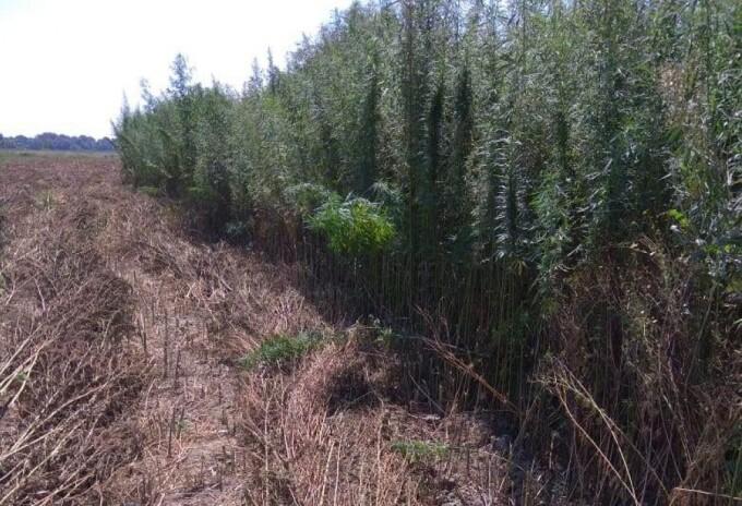 Plantaţie de canabis, pe o insulă din Delta Dunării