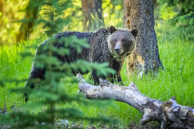 Atacat de urs