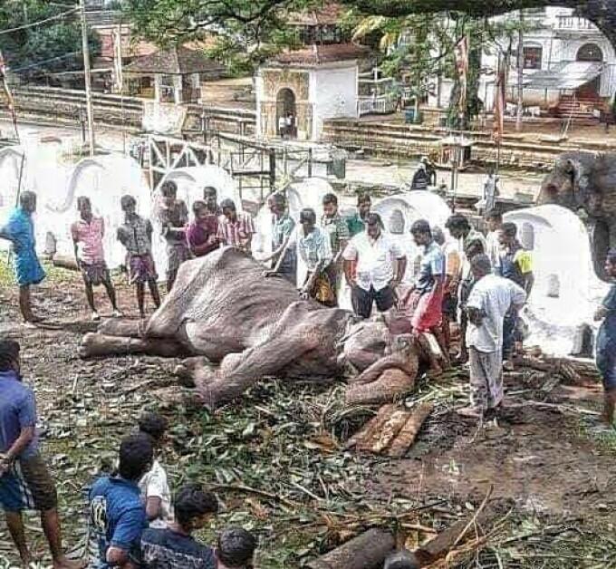 """Noi imagini sfâșietoare cu Tikiiri, elefantul înfometat la o paradă. """"E aproape de moarte"""" - 4"""