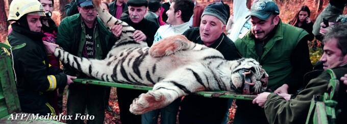 tigrul mort Sibiu