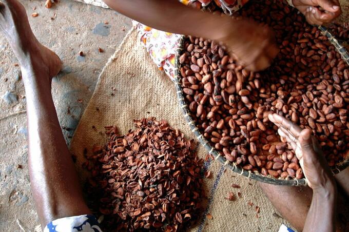 Plantatii de cacao