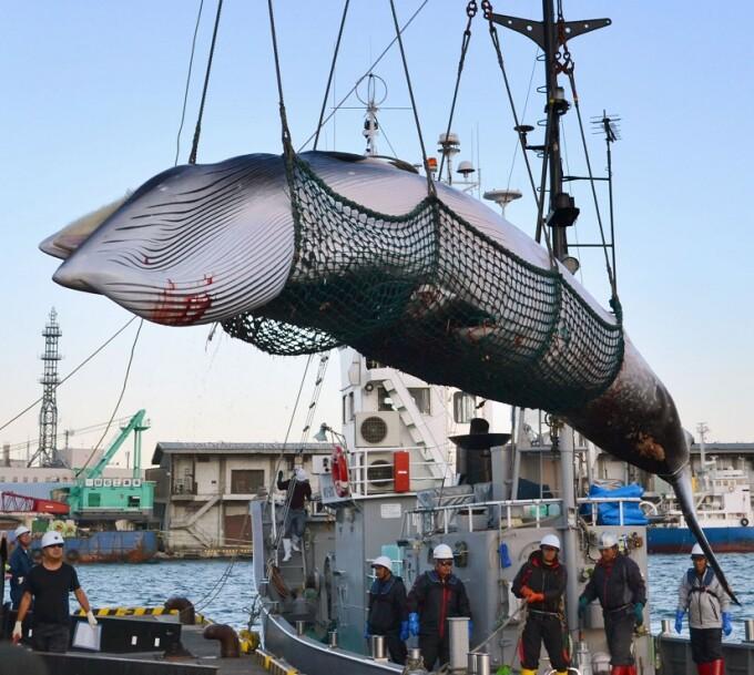 balenă pescuită în Japonia