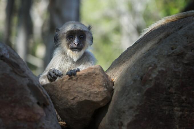 Maimuta Langur