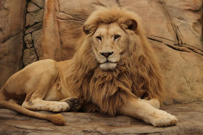 Patru lei de la o grădină zoologică din Spania au fost depistați cu Covid-19