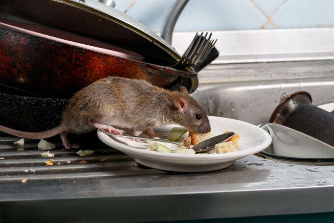 """Restaurant amenințat de """"hoarde"""" de șobolani, în Manhattan. S-au îngrășat cu avocado și orez"""