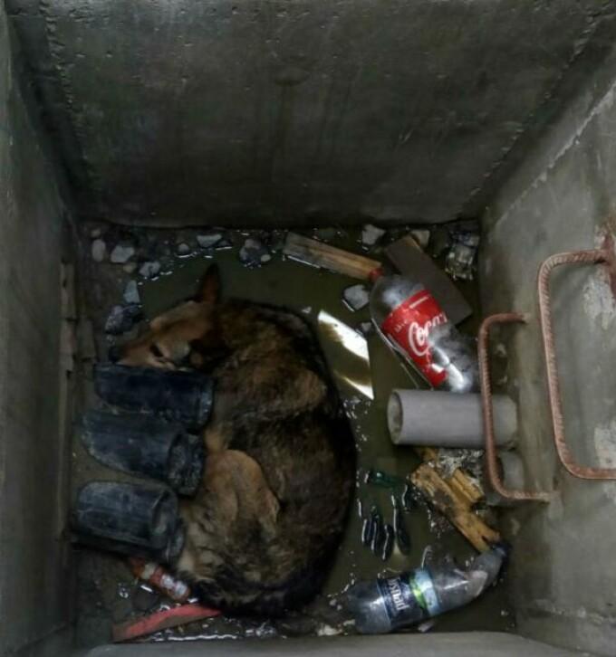 Câine Mediaș