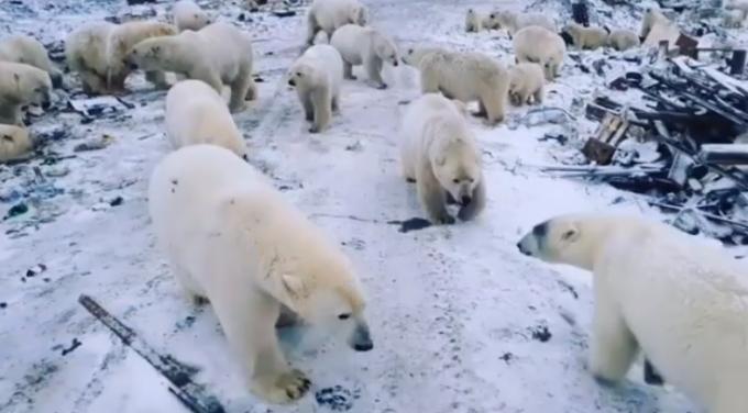 invazie, ursi polari, rusia, Novaya Zemlya