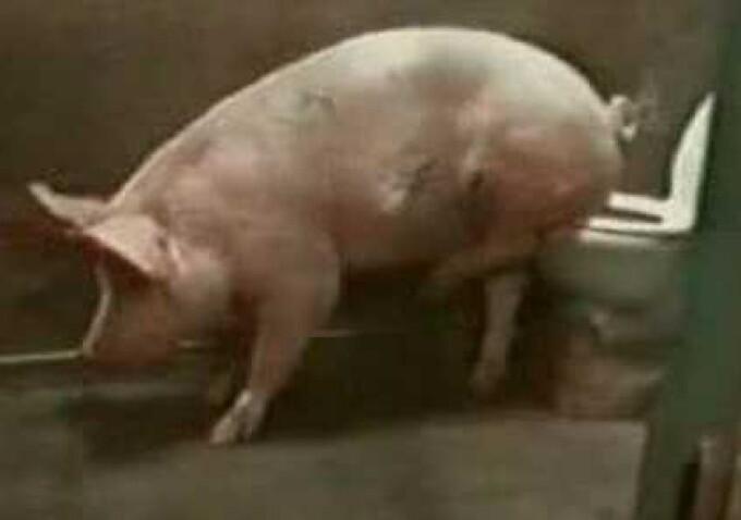 Porc la toaleta