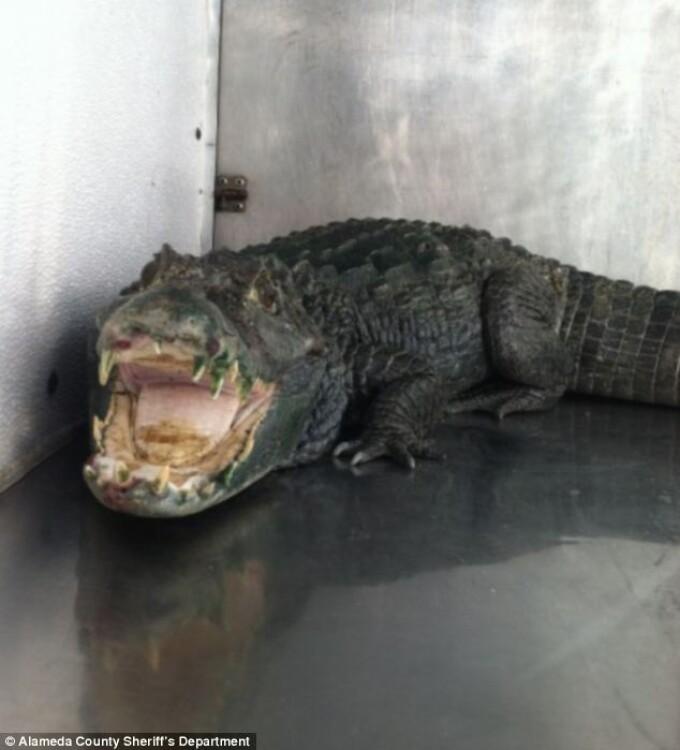 aligator - 2
