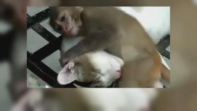 Pisica maimuta