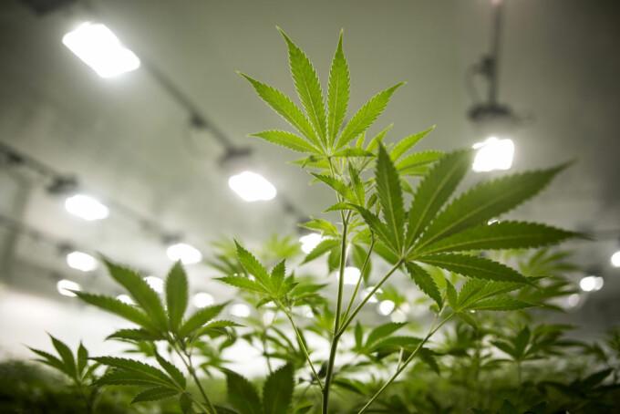 plante de marijuana intr-o cultura legala
