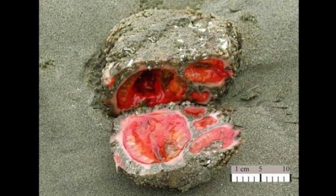 Pyura chilensis, creatura bizara