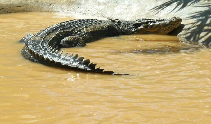 crocodilul LoLong