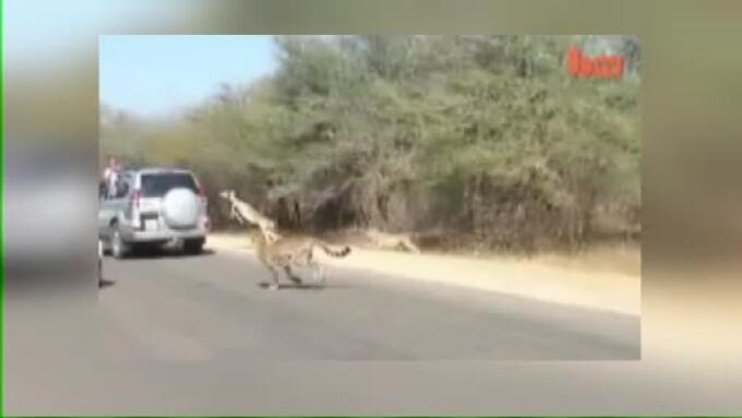 antilopa masina