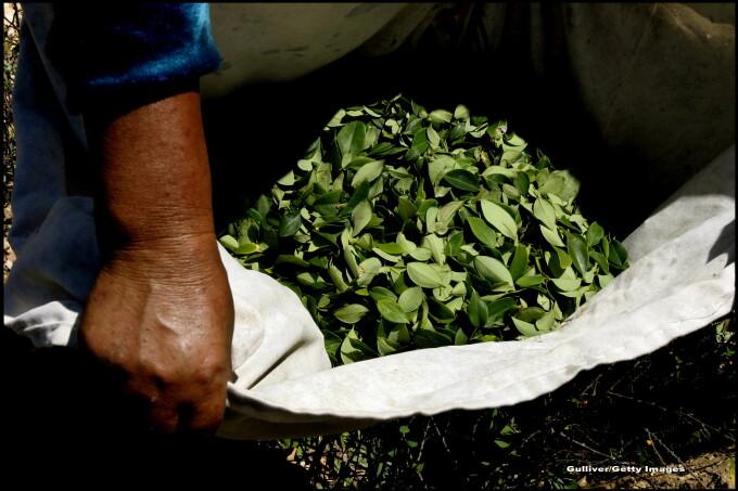 coca frunze arzător de grăsime