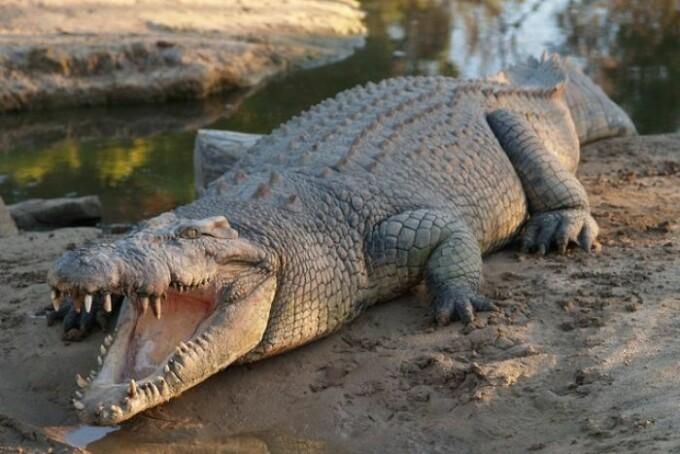 crocodil Australia - 6