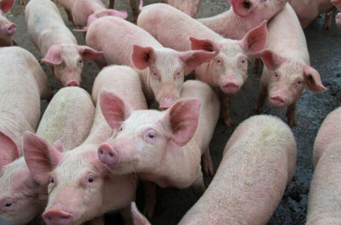 pesta porcină