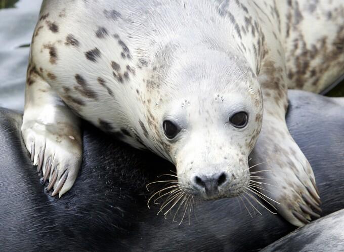 foci de Baltica